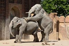 Love is in the Air @ Zoo Leipzig (MR-Fotografie) Tags: elephant love zoo is spring nikon song air leipzig sachsen nikkor 70300mm elefant garten liebe frühling zoologischer gefühle d7100 mrfotografie