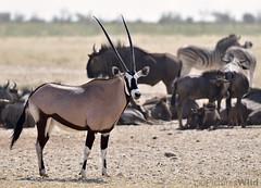 at Ozonjuitji m'Bari ~r (PicturesWild) Tags: game wildlife namibia etosha gemsbok burchellszebra oryxgazella etoshanationalpark brindledgnu blouwildebees pictureswild ozonjuitjimbari