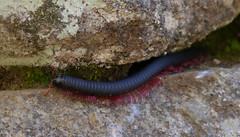 Vilcastreptus Machu Picchu (Hctor Montero Sommerfeld (Ti)) Tags: peru millipede myriapoda milpies machupiccchu diplopoda vilcastreptus