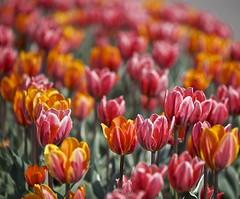 Painted with Tulips (Jamie McCaffrey) Tags: canada flower color colour colours fuji dof bokeh pastel ottawa canadian tulip fujifilm tulipfestival 2016 majorshillpark xt1 50140