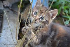 """A la dcouverte du jardin (Brigitte ... """"Tatie Clic"""") Tags: animal chat mai printemps chaton bourgeon animaldecompagnie sansretouche brindilles 2015051012"""