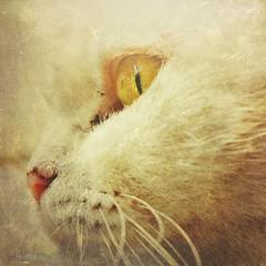 Branquela (rvcroffi) Tags: pet cute eye face closeup cat perfil gato whitecat perto rosto yelloweye fucinho gatabranca gatobranco olhoamarelo pelobranco mextures