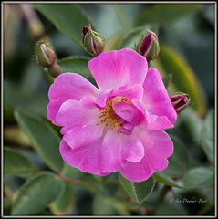 A Lone Rose (idunbarreid) Tags: rose doublefantasy