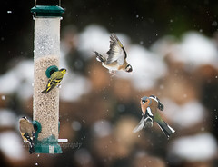Snowy Day (kfjmiller) Tags: 14teleconverter 2016 april birdfeeder birds chaffinch define2 flight gardenbirds isleofmull nikkor300mmf4 nikon scotland snow spring winter siskin goldfinch