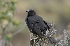 Tordo Comn / Austral Blackbird / Curaeus curaeus (georgina e.s) Tags: patagonia torresdelpaine avesdechile australblackbird curaeuscuraeus tordopatagonico tordocomun