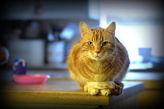 The Ginge (pentlandpirate) Tags: pet tom cat ginger jethro