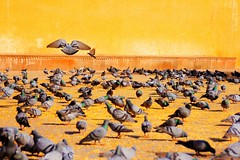 wings (@my_inner_horses) Tags: india birds wings pigeon dove jaipur