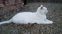Mystic (universalcatfanatic) Tags: wood cats white brick green eye stone yard cat fence out outside fire grey wooden back eyes backyard view stones side bricks profile gray pit tall sideview mystic lay laying