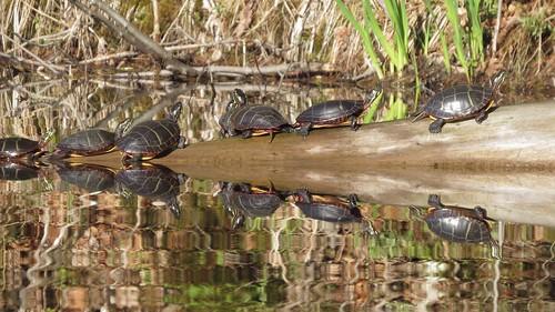 Turtle Parade - R Crosby