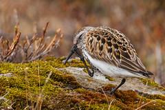 Lurll - Dunlin - Calidris alpina (nurdug2010) Tags: