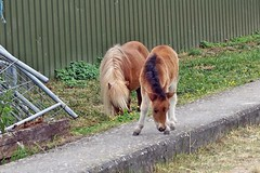 das Mini-Pferdchen (mama knipst!) Tags: horse cheval cavallo pferd