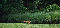 Running Through The Yard (Donald.Gallagher) Tags: red summer usa color green nature animals de woods young running northamerica delaware mammals foxes pikecreek woodcreek typetelephoto