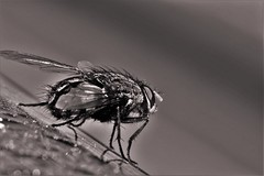 Fly (heiko.moser) Tags: bw macro art blancoynegro nature animal closeup fauna canon mono tiere fly noiretblanc natur natura nb sw monochrom makro schwarzweiss nero animale nahaufnahme tier fliege blackwihte heikomoser