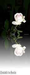 LE REFLET D'UNE ROSE !!!!!!!!!!!!!!! (christabelle12300( très ,très peu présente )) Tags: languageofflowers