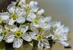Merisier / Cherrywood (www.yravaryphotoart.com) Tags: plant flower macro fleur plante bokeh vegetale cherrywood profondeurdechamp merisier canon7d canonef100mmf28lmacroisusm yravaryphotoart yravaryphotoartcom