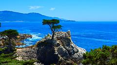 Lone Wolf (scottducey209) Tags: ocean california sea seascape beach northerncalifornia coast monterey nikon pacific scenic icon pebble carmel granite pebblebeach lone 17miledrive cypress centralcoast peninsula montereycypress californiacoast cypresstree montereypeninsula d5200