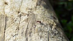 Rote Waldameise (Tobi NDH) Tags: nature animal wildlife natur tier ameise formicarufa redwoodant waldameise horseant southernwoodant rödskogsmyra rotewaldameise kekomuurahainen рыжийлесноймуравей erdeivöröshangya mrówkarudnica behaardebosmier hormigarojaeuropea hormigarojadelamadera rødskogsmaur fourmiroussedesbois mraveneclesní mravechôrny velikardečamravlja