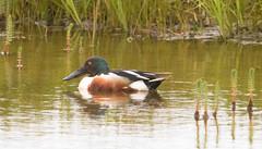 Northern Shoveler - Anas clypeata - Skeind (*Jonina*) Tags: birds iceland northernshoveler sland anasclypeata djupivogur djpivogur fuglar skeind jnnagurnskarsdttir