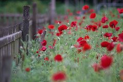 Poppies (esmeecadoni) Tags: light red sunlight flower holland green nature netherlands fence spring europe bokeh outdoor sony minimal simplicity poppies simple minimalistic drenthe littlethings beautifulearth