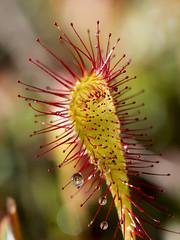 P6180454 (turbok) Tags: langblättrigesonnentaudroseraanglica moorundwasserpflanzen pflanze sonnentau c kurt krimberger