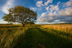 out in the fileds (Guido F.J. Ehlers - gfje) Tags: sony900 sony sal1635z tree baum field feld clouds landscape landschaft sky himmel sunset outdoor foliage