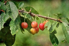 Les premires cerises (mamietherese1 in vacation) Tags: texture phvalue
