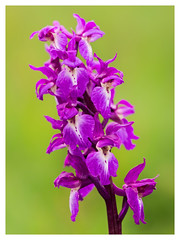 Early Purple Orchid (Damian_Ward) Tags: orchid flower rural photography countryside early purple chilterns naturereserve wildflower orchis orchismascula thechilterns chilternhills astonrowant earlypurple damianward ©damianward