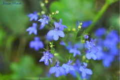 Blue flowers (Joanna Porada) Tags: blue flower green nature focus natural bokeh violet lavender gras