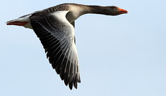 The Greylag Goose ~ Best View Dark - Press L (SNAPDECISIONS !) Tags: wildlife goose avian wildbirds greylaggoose britishbirds birdphotos birdsofthebritishisles snapdecisions theworldofbirds birdsofbritonandeurope