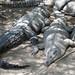 Coccodrilli di 3 metri a riposo (Rio Tumbes, Puerto Pizarrro)