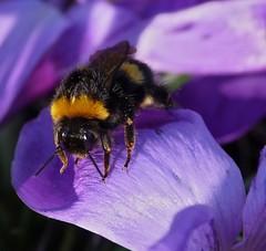 Erdhummel auf lila krokus (GuteFee) Tags: makro insekten krokus blüten erdhummeln
