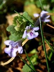 Creeping Charlie (mudder_bbc) Tags: flowers spring wildflowers glechomahederacea gillovertheground groundivy creepingcharlie
