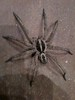 """BSR Wolf Spider • <a style=""""font-size:0.8em;"""" href=""""http://www.flickr.com/photos/77680067@N06/7030867985/"""" target=""""_blank"""">View on Flickr</a>"""