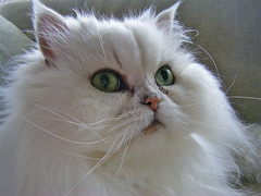 Chinchilla Persian posing (Rich Saunders) Tags: white cute beautiful closeup cat fur nose persian eyes furry feline pretty pussy fluffy lookingup whiskers chinchilla attractive puss whitecat attentive alert appealing chinchillapersian