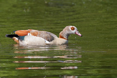 Egyptian Goose (LaurentSt) Tags: bird fauna wildlife goose egyptiangoose sigma400mmf56apotelemacrohsm