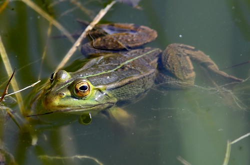 green pond mare frog stray hidding grenouille caché 180mmf28 d7000 focahr7