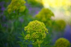 swirly flowers (Bbursson) Tags: leica plant flower color nature garden painting 50mm leaf bokeh outdoor pflanze summicron blatt teich tone ulm wetzlar leitz