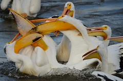 Pelican wrestling (cl.lin) Tags: white bird pelicans nature birds river mississippi illinois fishing nikon wrestling wildlife birding pelican iowa american mississippiriver hampton fighting americanwhitepelican leclaire lockanddam14 d7000 ld14