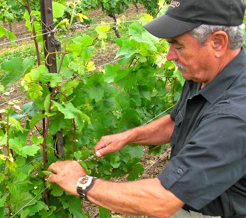 roman vines