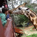 Kissing big neck... Giraffe Centre