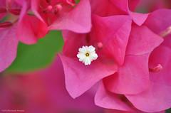 The Tiny White : البيضاء الصغيرة (_Mortazah_) Tags: pink white flower macro tiny وردة زهرة وردي ماكرو ابيض بيضاء زهري