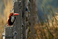 Kingfisher (Atul Tater) Tags: india bird fence delhi kingfisher