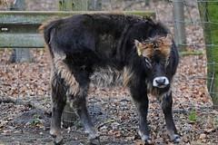 Auerochse im Tierpark Neumünster (Ulli J.) Tags: germany deutschland zoo tierpark allemagne schleswigholstein neumünster aurochs auerochse heckrind heckcattle aurochsdeheck