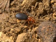 Bombardier Beetle, Brachinus crepitans,  limestone grassland at Ring Haw, Old Sulehay Nature Reserve, Northamptonshire   DSC_9771 (Cladoniophile) Tags: macro nature closeup wildlife beetle coleoptera carabidae carabid groundbeetle