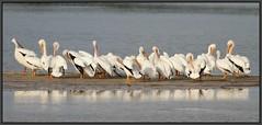 White Pelicans (Eric C. Reuter) Tags: nature birds florida wildlife birding april sanibel 2011 dingdarlingnwr