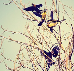 The reason birds can fly and we can't is simply that they have perfect faith, for to have faith is to have wings. (shubhtaj dhillon) Tags: sky nature birds wings barebranches migratorybirds flyingbirds poplartreebranches