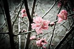 Pink Flowers (Daria Angeli) Tags: pink flowers usa nature sanantonio march texas tx branches springbreak sprouts 2012 beautifulphoto natureplus flickraward