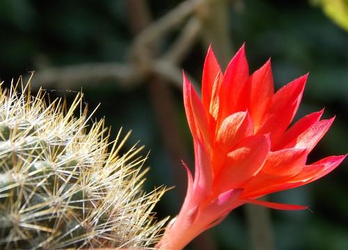 Beauty and the Beast... (Ali Cihan Ozsut) red cactus flower macro nikon l810