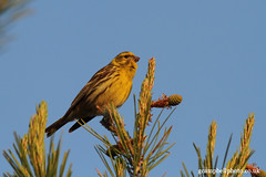 Serin (Mallorca) (gcampbellphoto) Tags: bird nature spain wildlife finch mallorca serin passerine sacoma puntadenamer gcampbellphotocouk