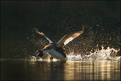 Challenging a new day (hvhe1) Tags: light holland male bird nature water animal sunrise nationalpark drops fight dusk wildlife attack thenetherlands natuur naturereserve splash waterfowl vogel grebe biesbosch wetland zonsopgang fuut natuurreservaat watervogel specanimal hvhe1 hennievanheerden avianexcellence